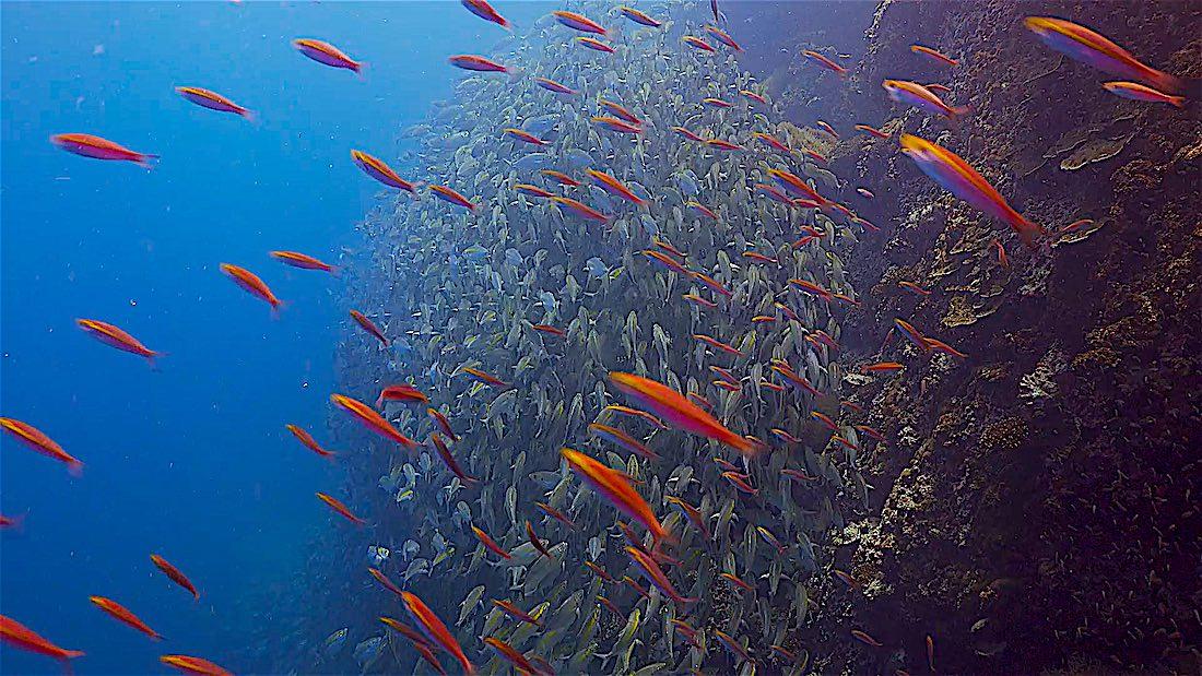 Sail Rock Dive Site Koh Tao - Huge Numbers of Fish