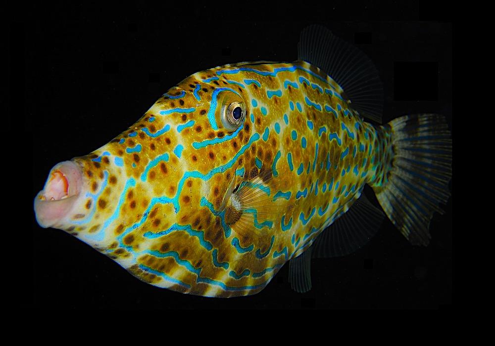 Scribbled Filefish - Marine Life