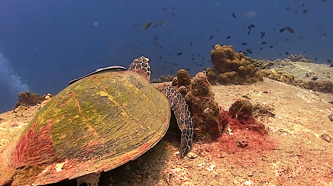 Hin Wong Pinnacle Dive Site Koh Tao - Sea Turtles