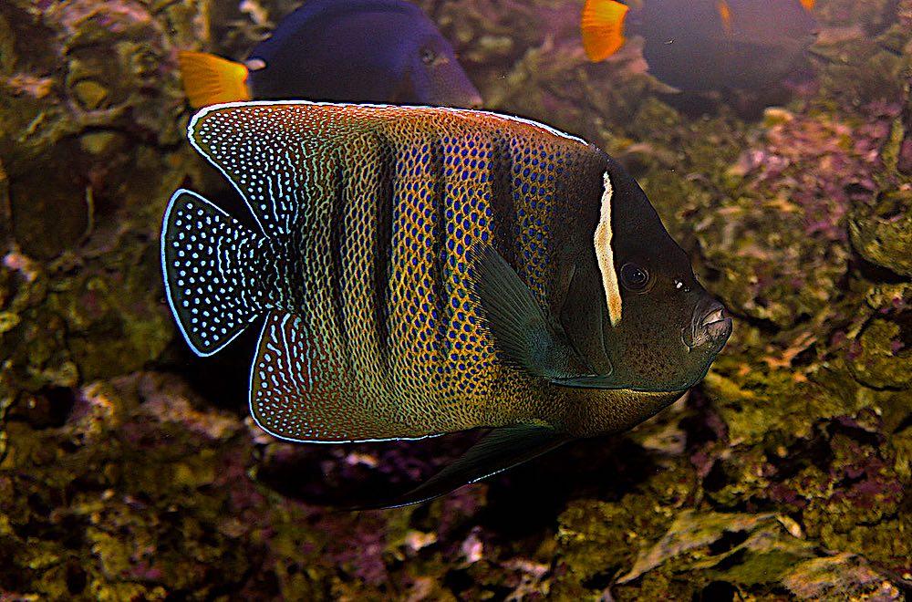 Six Banded Angelfish - Marine Life Koh Tao