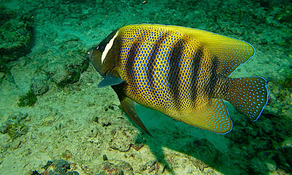 Six Banded Angelfish - Marine Life