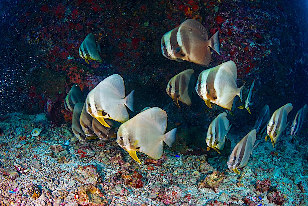Tailfin Batfish - Marine Life