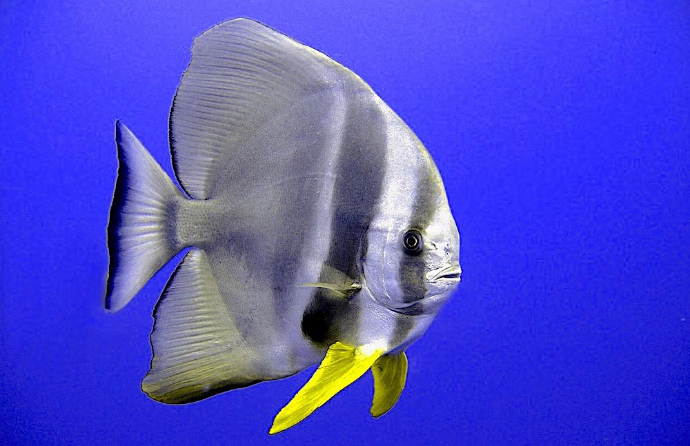 Tailfin Batfish Koh Tao