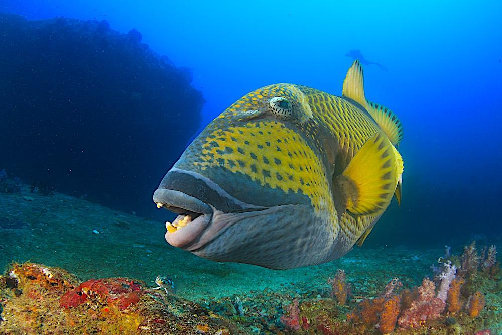 Titan Triggerfish Koh Tao Marine Life