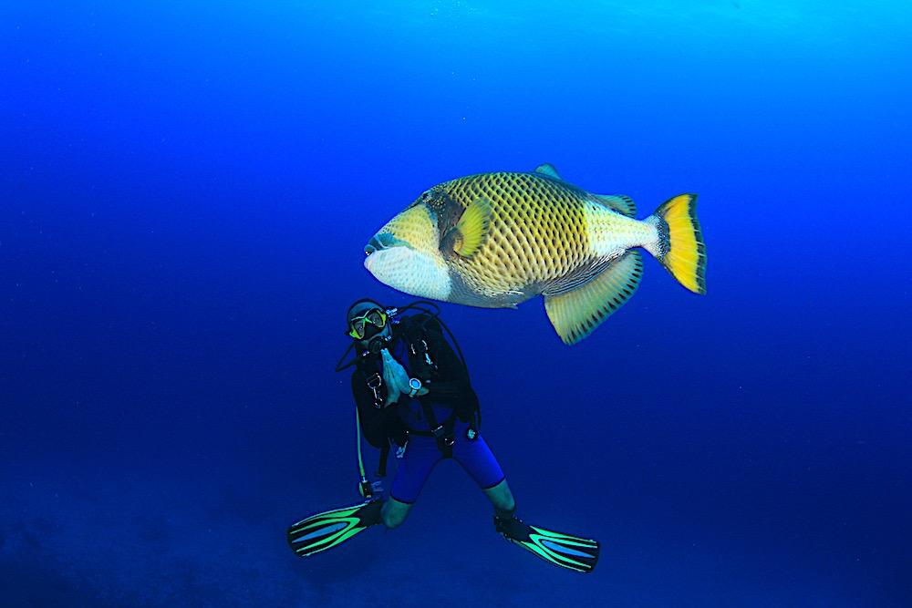 Titan Triggerfish - Marine Life