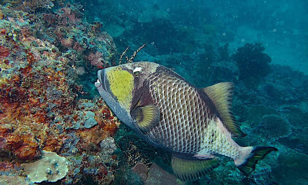 Titan Triggerfish Koh Tao
