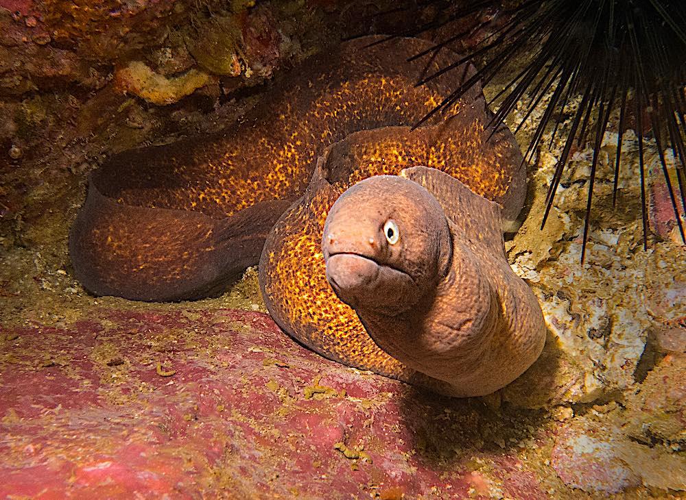 White Eyed Moray Eel - Marine Life