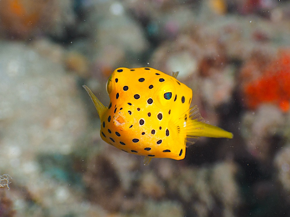 Yellow Boxfish - Marine Life