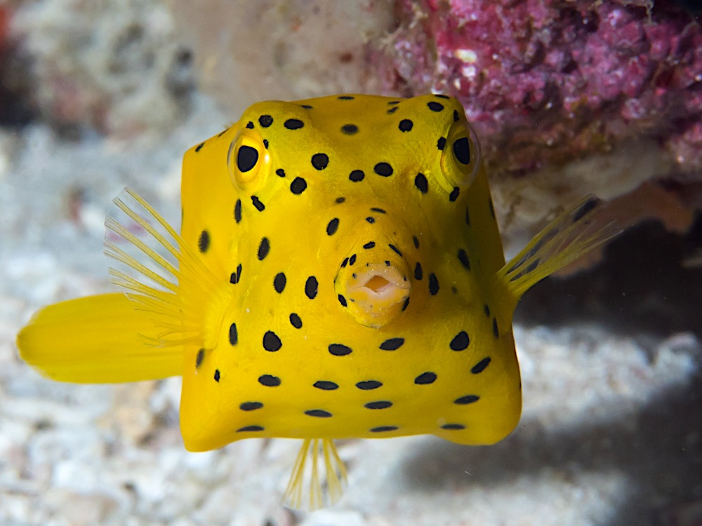 Yellow Boxfish Koh Tao Marine Life