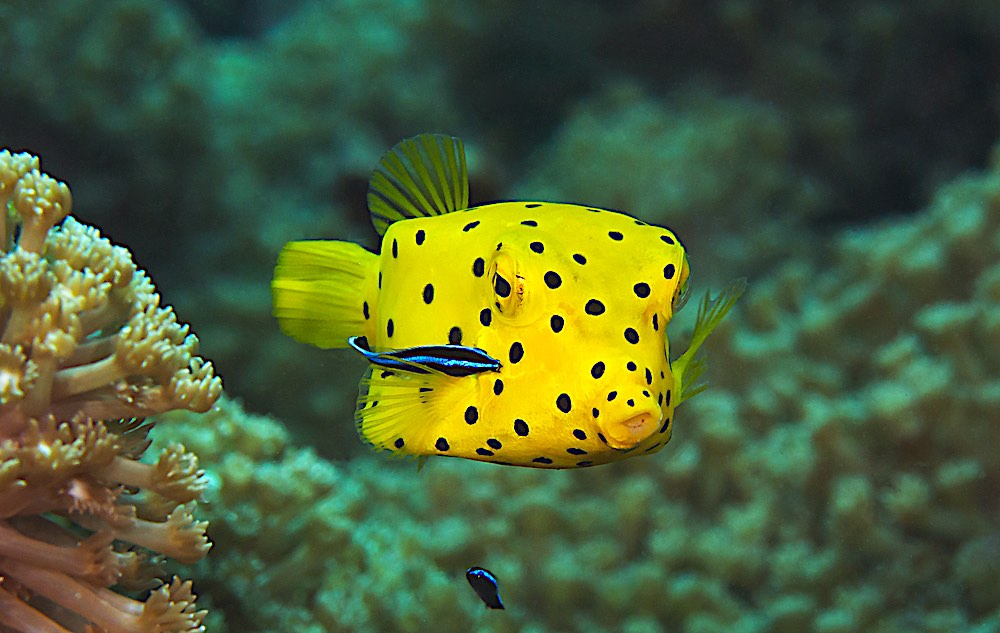 Yellow Boxfish Koh Tao