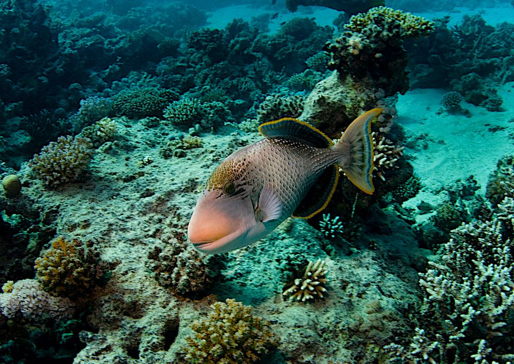 Yellow Margin Triggerfish - Marine Life