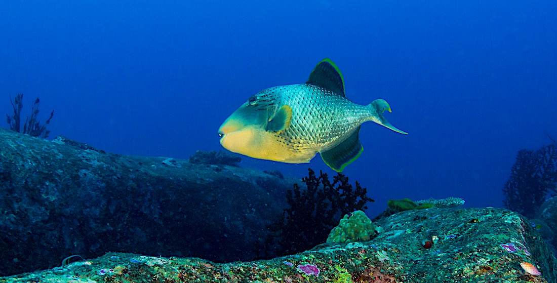 Yellow Margin Triggerfish - Marine Life Koh Tao