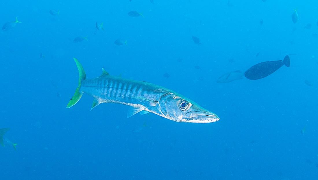Yellow Tail Barracuda Koh Tao