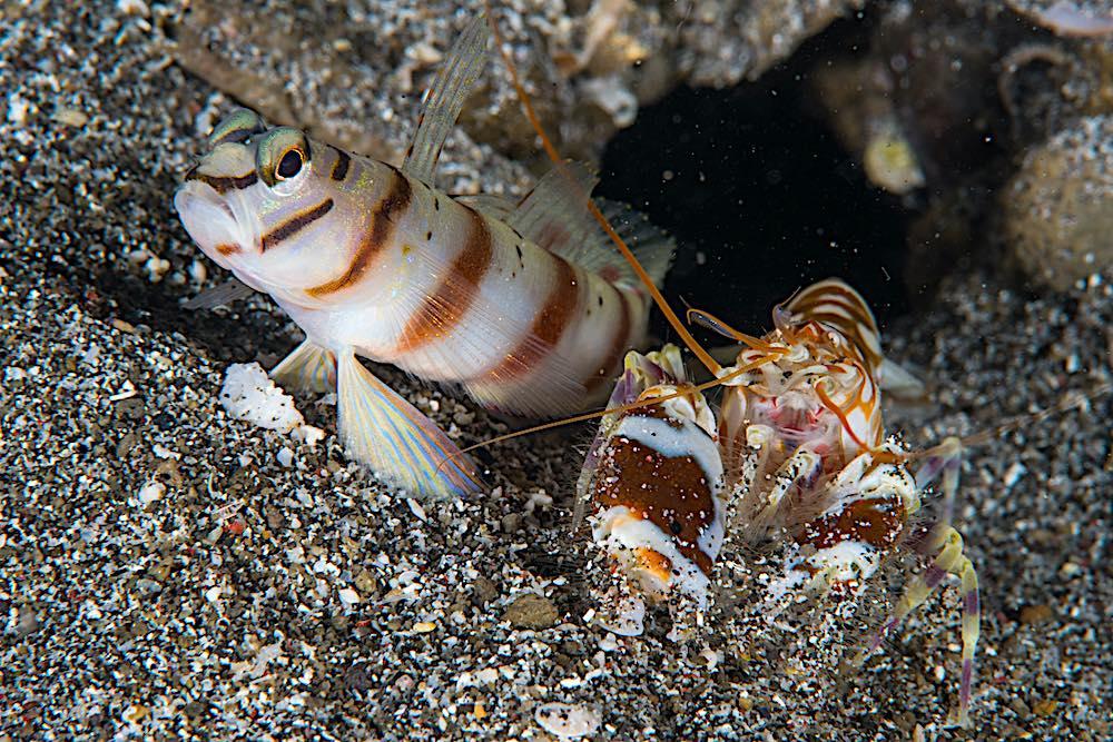 Goby & Shrimp - Symbiosis