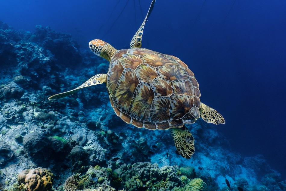 Beautiful Green Sea Turtle in Thailand