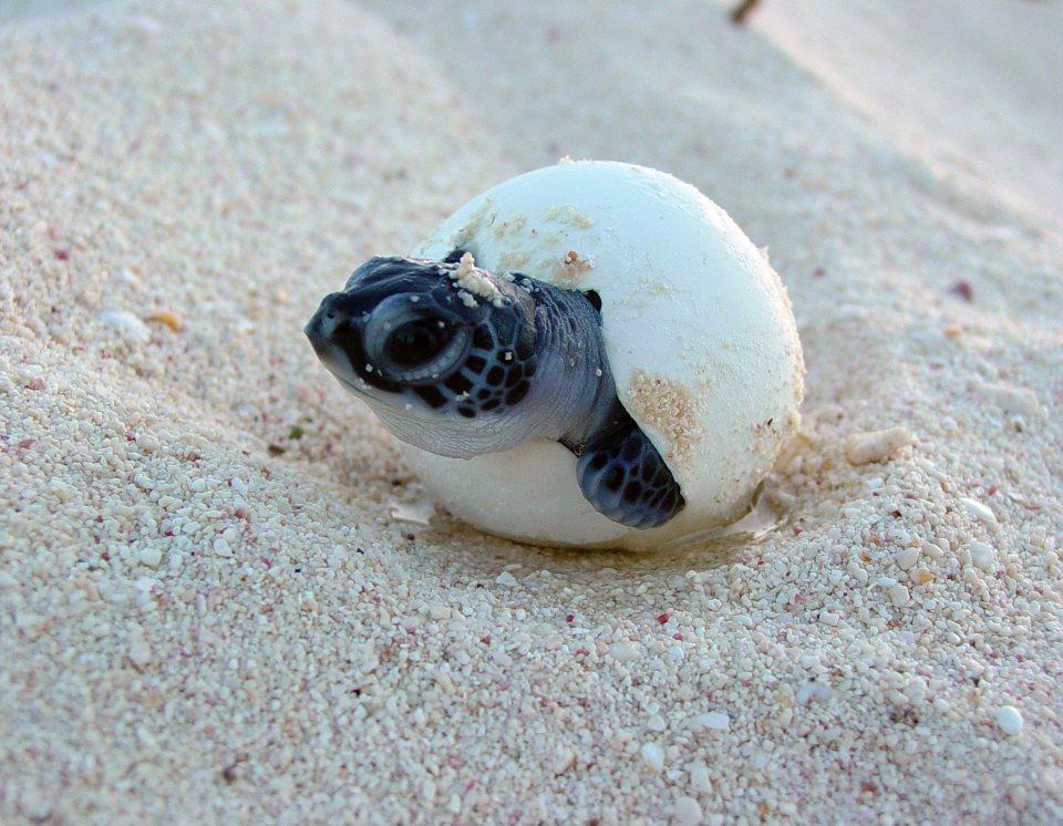 Nesting Sea Turtles & Eggs